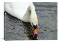 Swan Feeder, Canvas Print