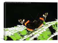 Admiral Butterfly, Canvas Print
