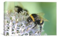 bumble bee on white flower, Canvas Print