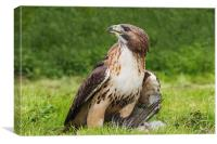 Red-tailed hawk with pigeon, Canvas Print