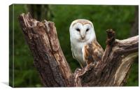 Barn owl perched in the fork of an old tree trunk, Canvas Print