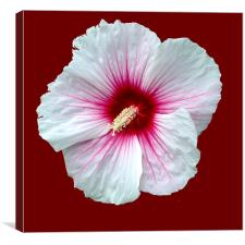 Showy hibiscus, Canvas Print