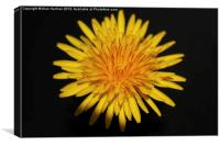 Dandelion Flower, Canvas Print