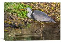 Grey Heron , Canvas Print