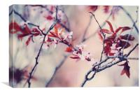 Icy Cherry Bloom. Pink Spring in Amsterdam , Canvas Print