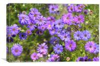 Swan River Daisies, Canvas Print