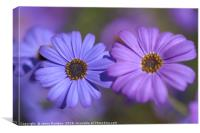 Purple and Blue. Swan River Daisies, Canvas Print