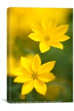 Two Flowers. Yellow Coreopsis, Canvas Print