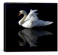 Swan with reflection, Canvas Print