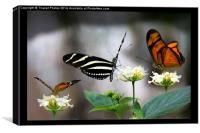 Three exotic butterflies  , Canvas Print