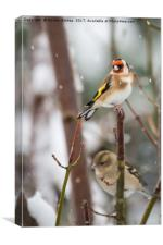 Goldfinch on a snow day, Canvas Print