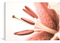 Detailed Pale Pink Lily, Canvas Print