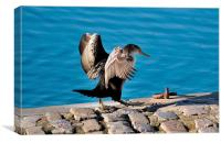 Young Cormorant drying off after a swim, Canvas Print