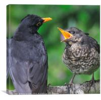 Young blackbird waiting for food from daddy, Canvas Print