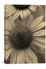 Natural Daisy in Sepia, Canvas Print