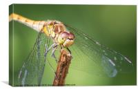 Dragonfly : Up close and personal, Canvas Print
