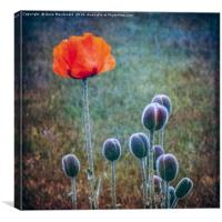 Red Poppy Standing Tall, Canvas Print