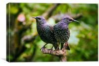 Two Beautiful Starlings, Canvas Print