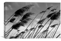 Reeds in the spring breeze, Canvas Print