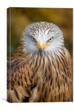 Red kite close up, Canvas Print