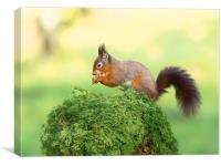 Red tailed Squirrel, Canvas Print