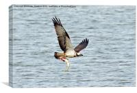 Osprey with fish, Canvas Print
