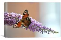 Peacock Butterfly, Canvas Print