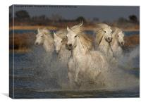 Camargue Horses running in water, Canvas Print