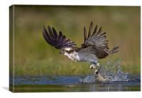 Osprey with catch, Canvas Print
