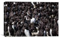 Staple Islands Guillemots, Canvas Print
