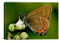 Black Hairstreak Butterfly, Canvas Print