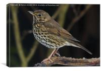 Song Thrush  (Turdus philomelos), Canvas Print