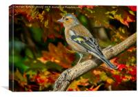 Male Chaffinch in Autumn   (Fringilla coelebs), Canvas Print