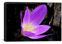 Purple Autumn Crocus (Colchicum autumnale), Canvas Print