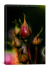 Rose Buds, Canvas Print
