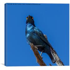 Greater Blue-eared Glossy Starling, Canvas Print