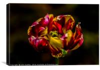 Variegated Tulip, Canvas Print