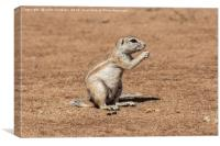 Namibian Ground Squirrel, Canvas Print