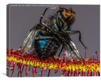 House Fly captured by a Cape Sundew Plant, Canvas Print