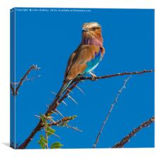 South African Lilac Breasted Roller, Canvas Print