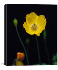 Welsh poppies, Canvas Print