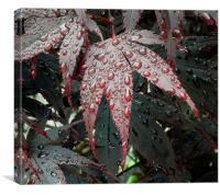 Water on a Crimson Acer leaf, Canvas Print