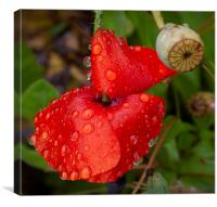 Raindrops on a Red Poppy, Canvas Print