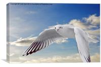 The Ring-billed Gull in flight, Canvas Print