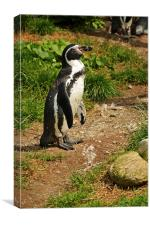 The Humboldt Penguin, also termed Peruvian Penguin, Canvas Print