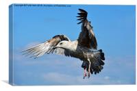 Seagull coming in to land, Canvas Print