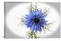 """Love in a mist """"vignetted"""", Canvas Print"""