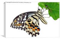 The Common Lime butterfly, Canvas Print