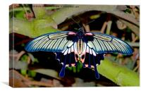 Scarlet Swallowtail butterfly, Canvas Print