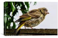Young Greenfinch visitor, Canvas Print